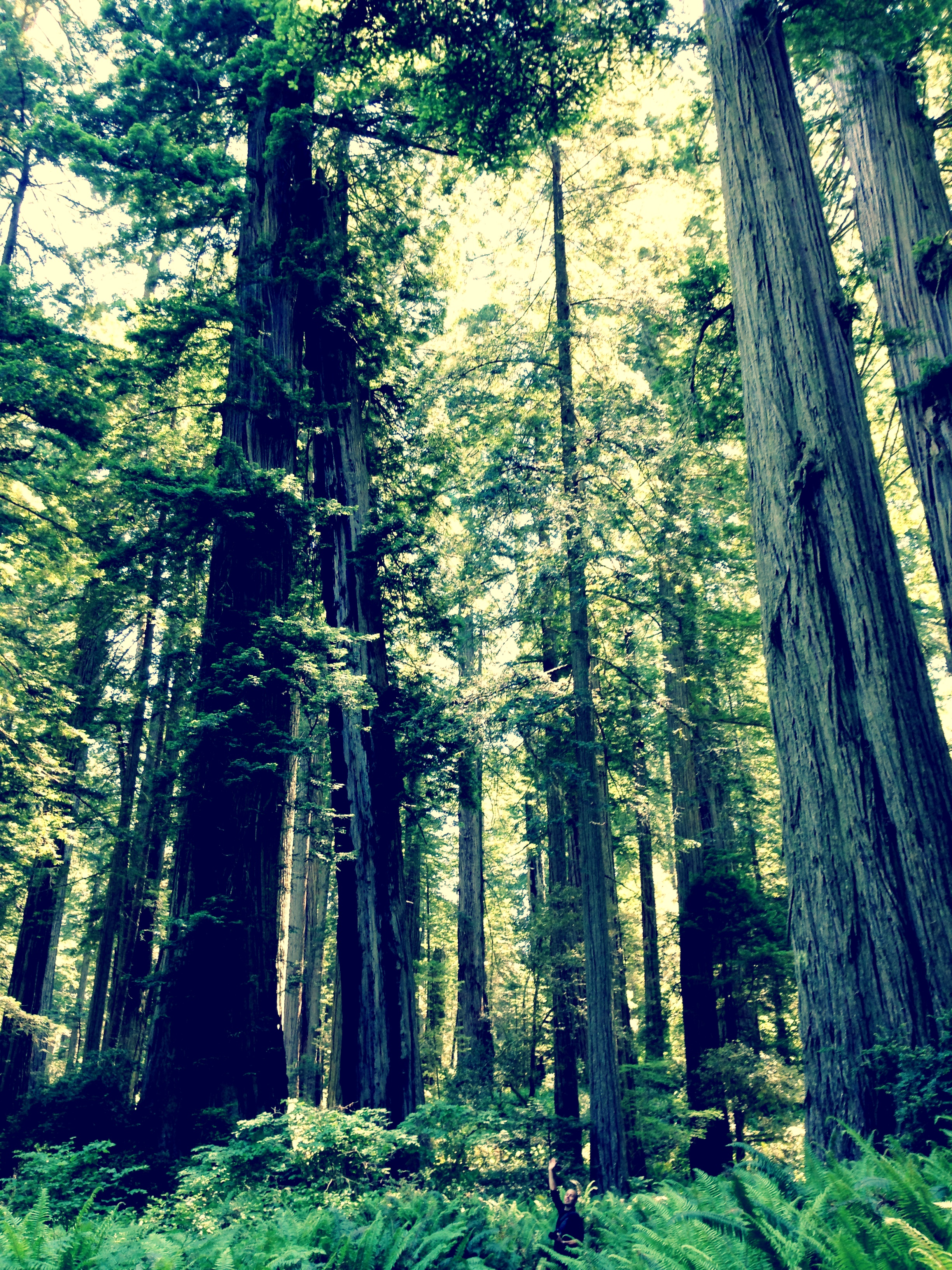 Redwood træer