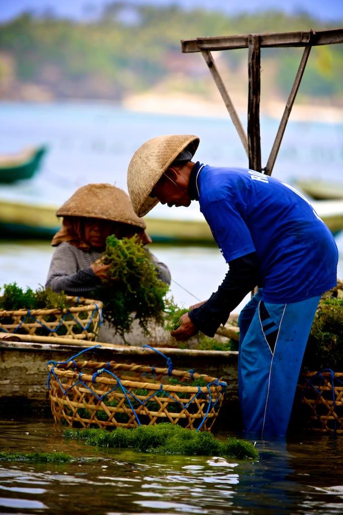 Havtang høstes på Lembongang