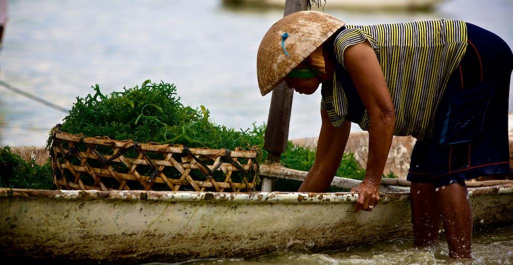 Tang høstes på Lembogan