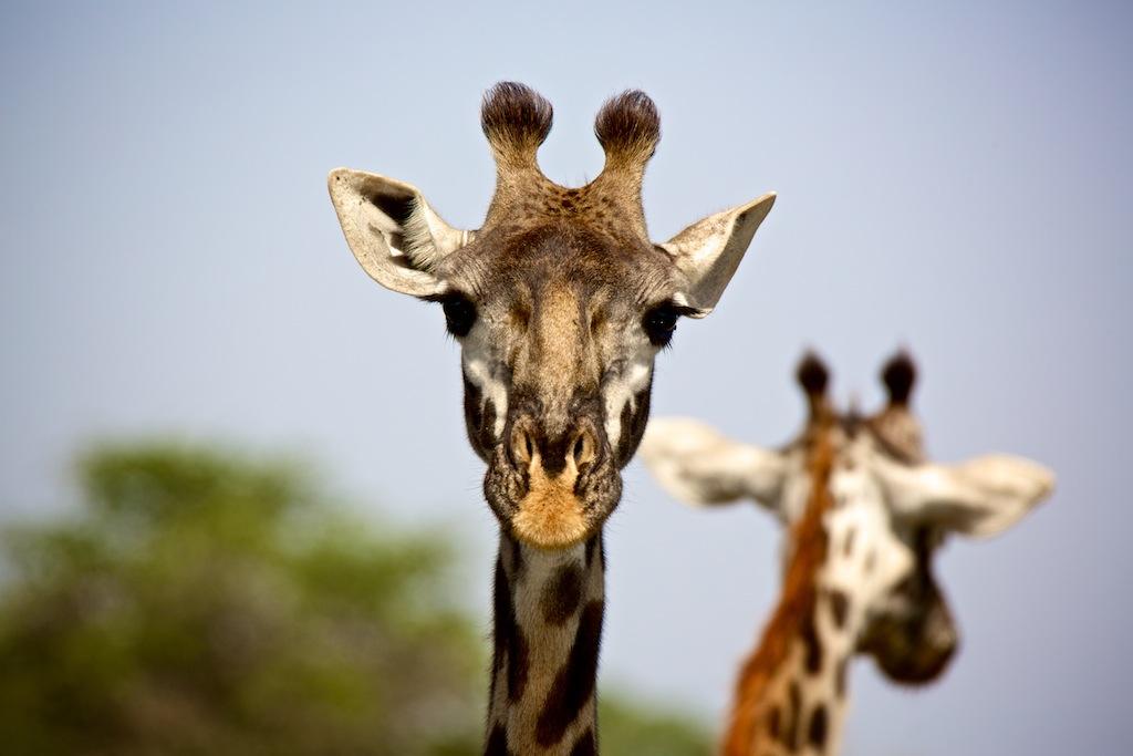 Safari i Tanzania 10