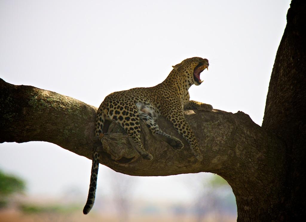 Safari i Tanzania 11