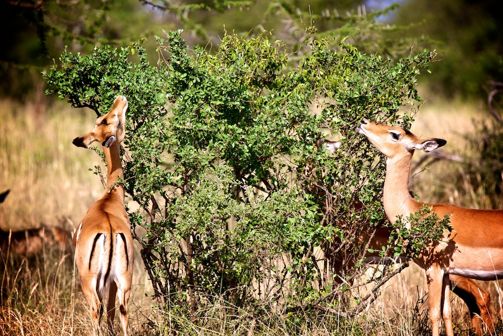 Safari i Tanzania 15