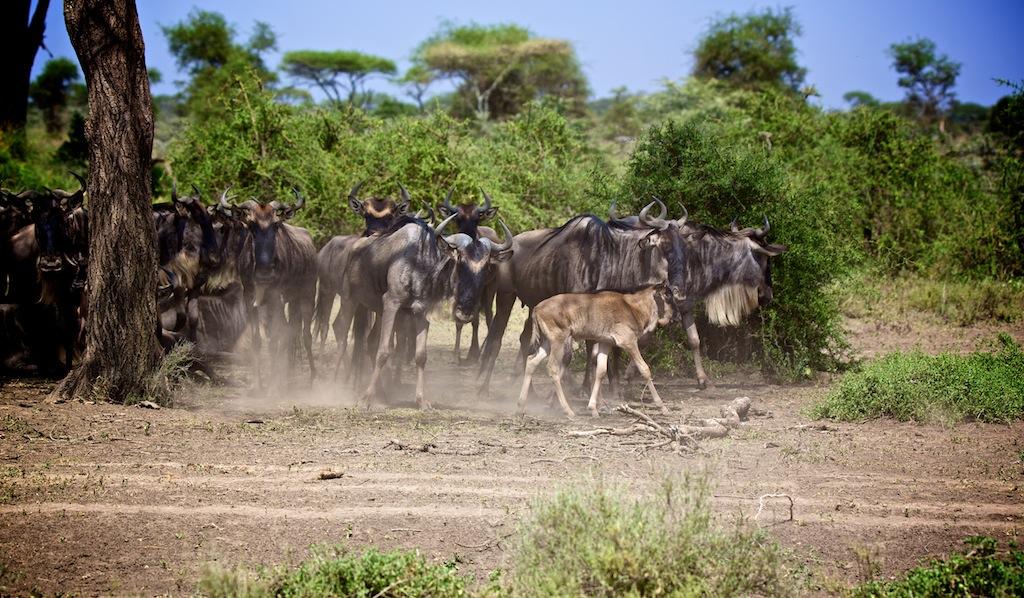 Safari i Tanzania 23