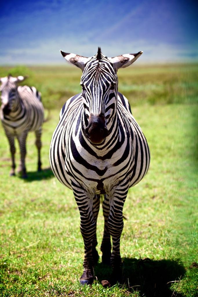 Safari i Tanzania 29