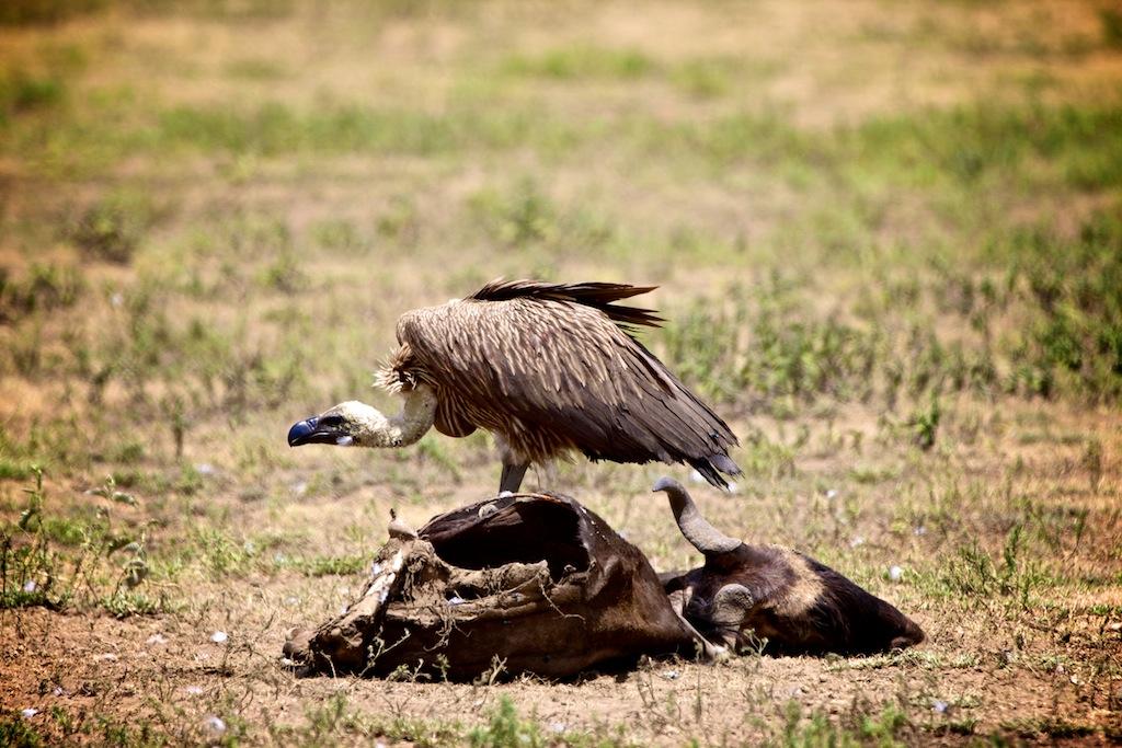 Safari i Tanzania 4
