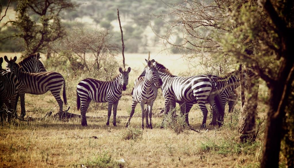 Safari i Tanzania 8