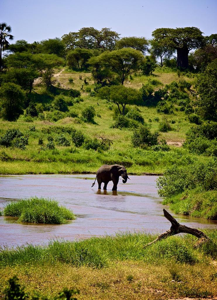 Elefanter og Baobabtæer i Tanzania