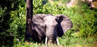 Elefant på safari i Tanzania