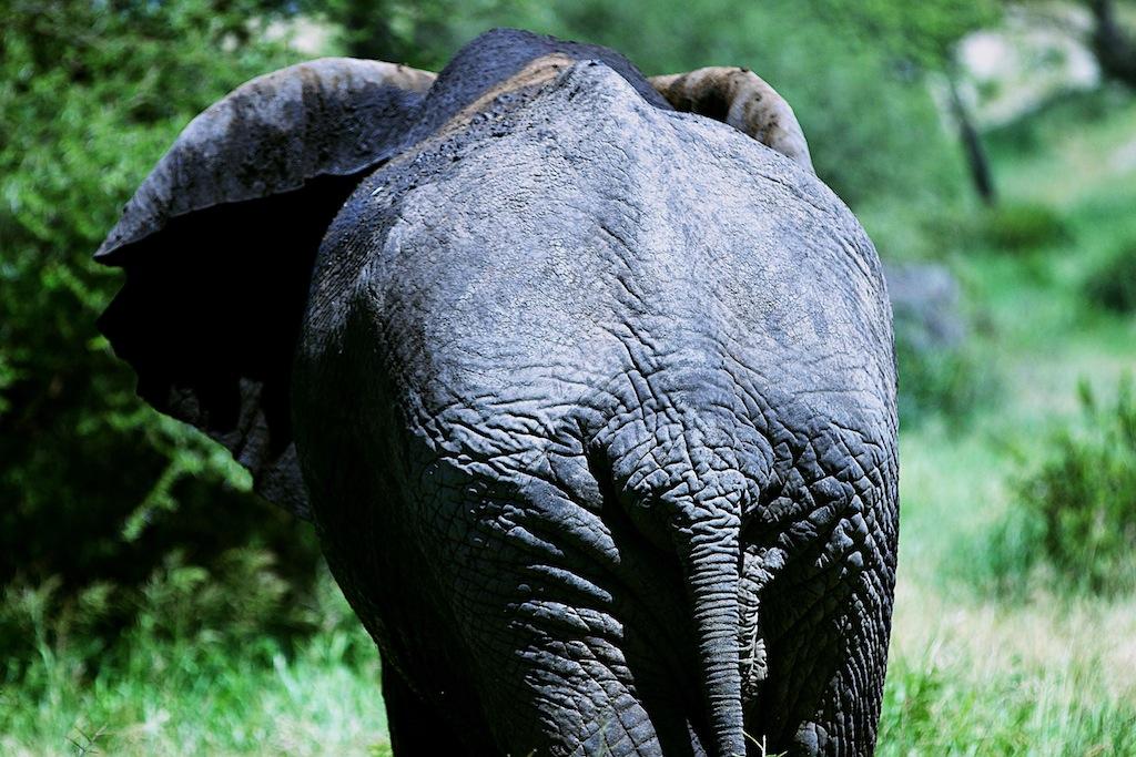 Elefanter i Tanzania 10