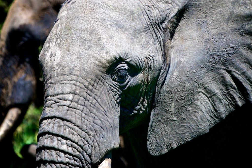Elefanter i Tanzania 4