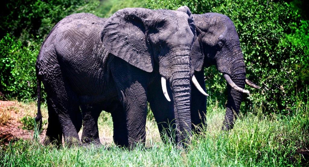 Elefanter i Tanzania 5