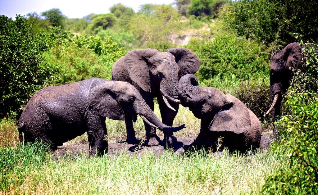 Elefanter i Tanzania 6