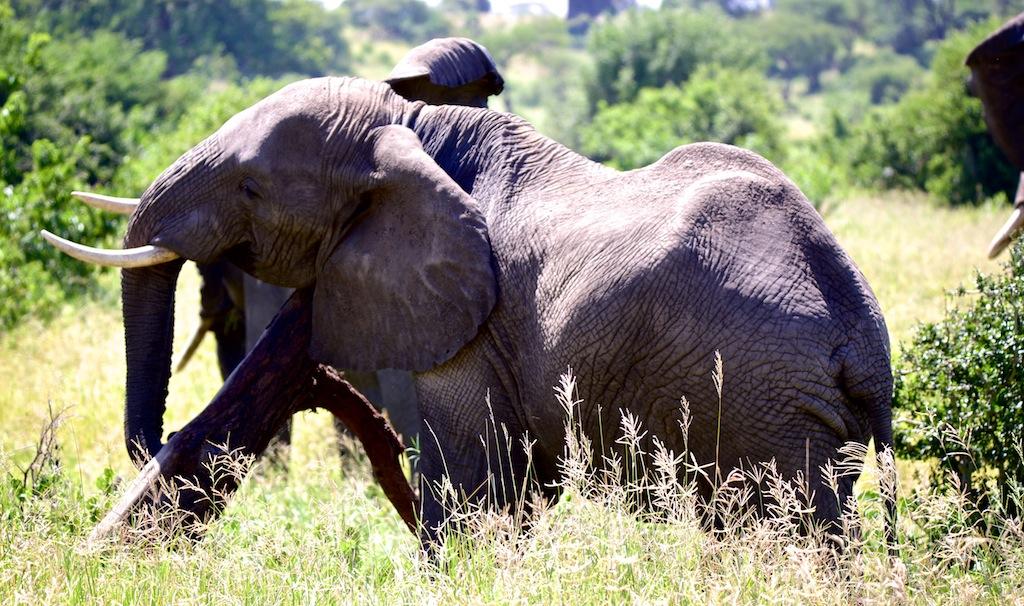 Elefanter i Tanzania 7