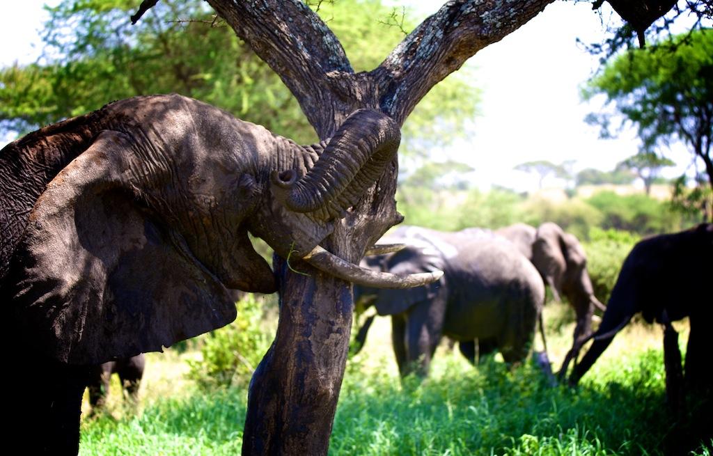 Elefanter i Tanzania 8