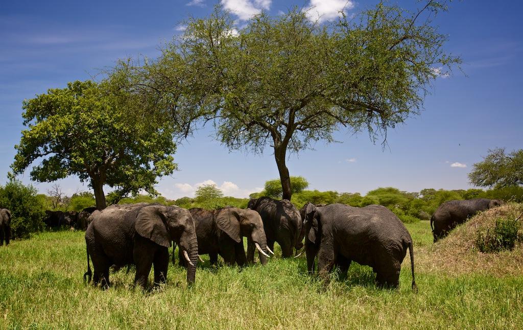 Elefanter i Tanzania 9