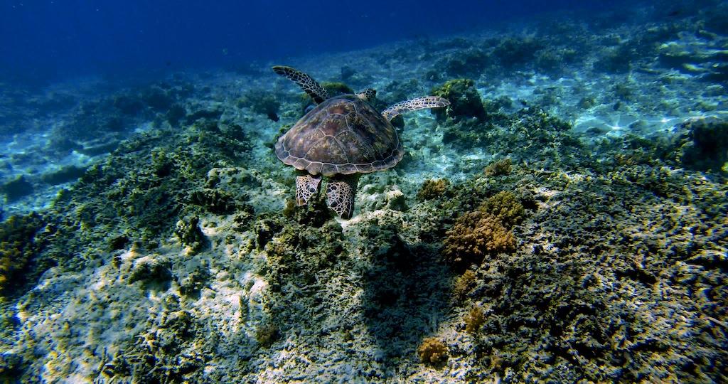 Havskildpadde ved Gili 7