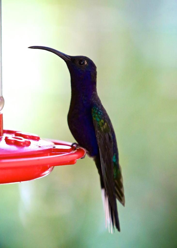 Kolibri i Monteverde_Costa Rica 10