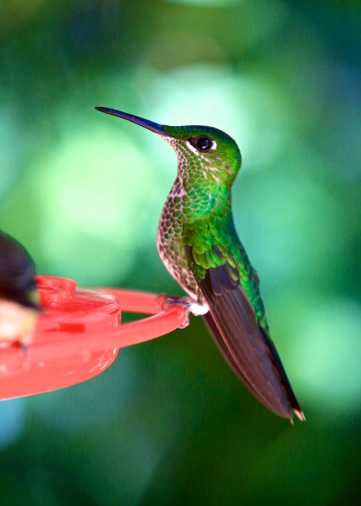 Kolibri i Monteverde_Costa Rica 4