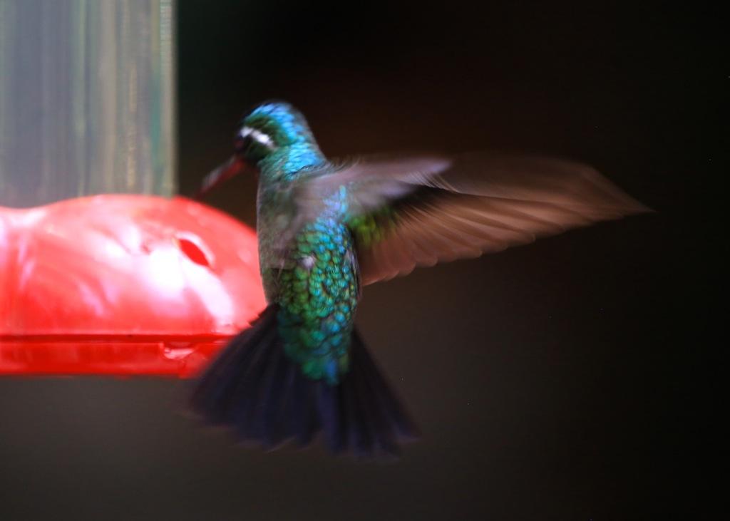 Kolibri i Monteverde_Costa Rica 6