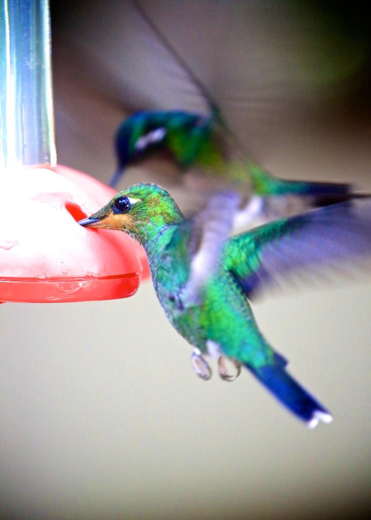 Kolibri i Monteverde_Costa Rica 8