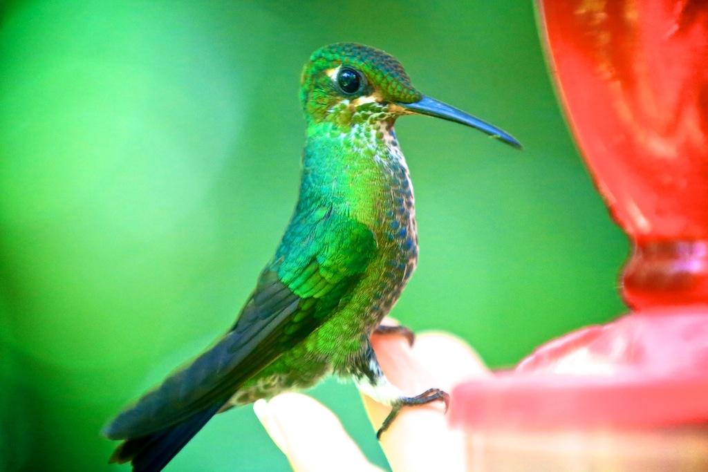 Kolibri i Monteverde_Costa Rica 9