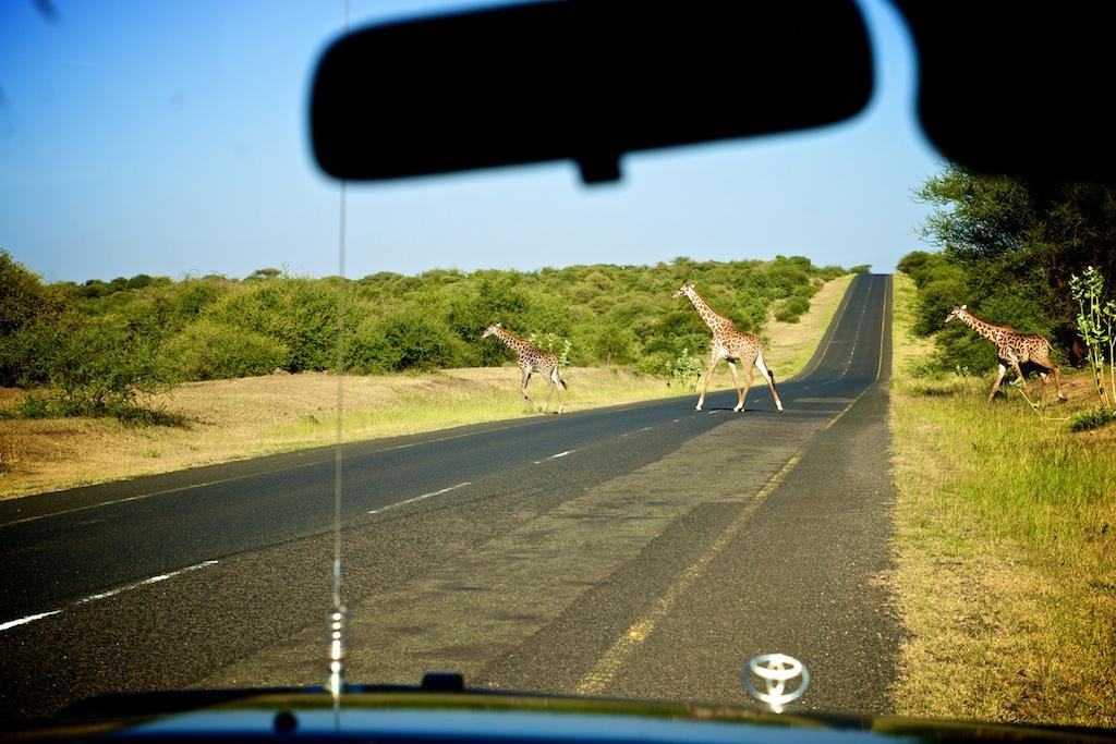 Safari i Tanzania 3