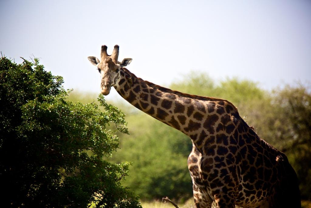 Safari i Tanzania 5