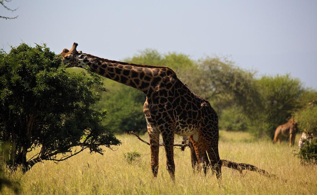 Safari i Tanzania 6