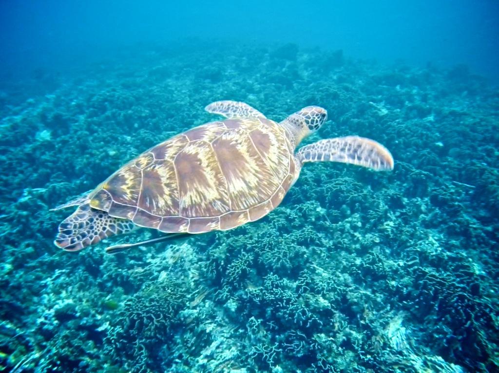 Havskildpadde ved Similan Island
