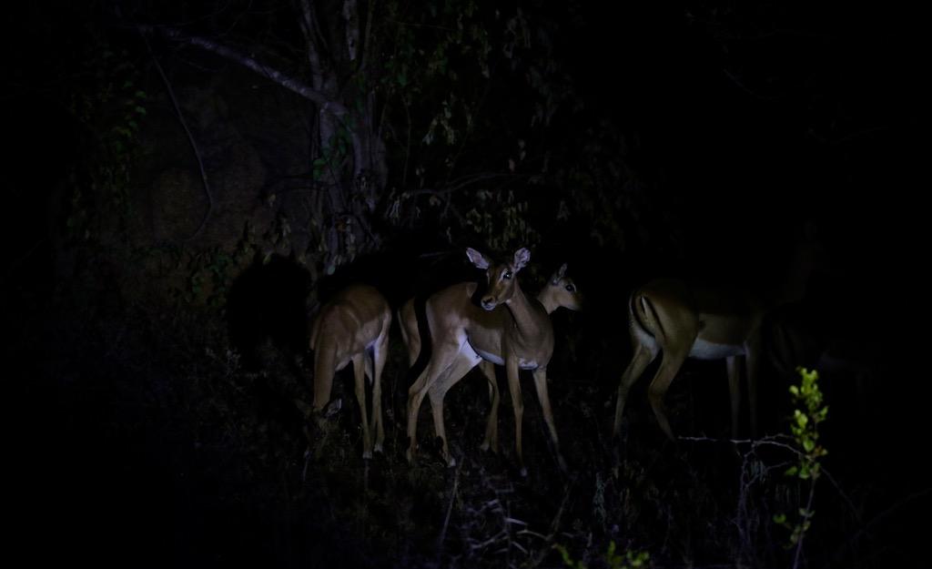 Safari efter solnedgang