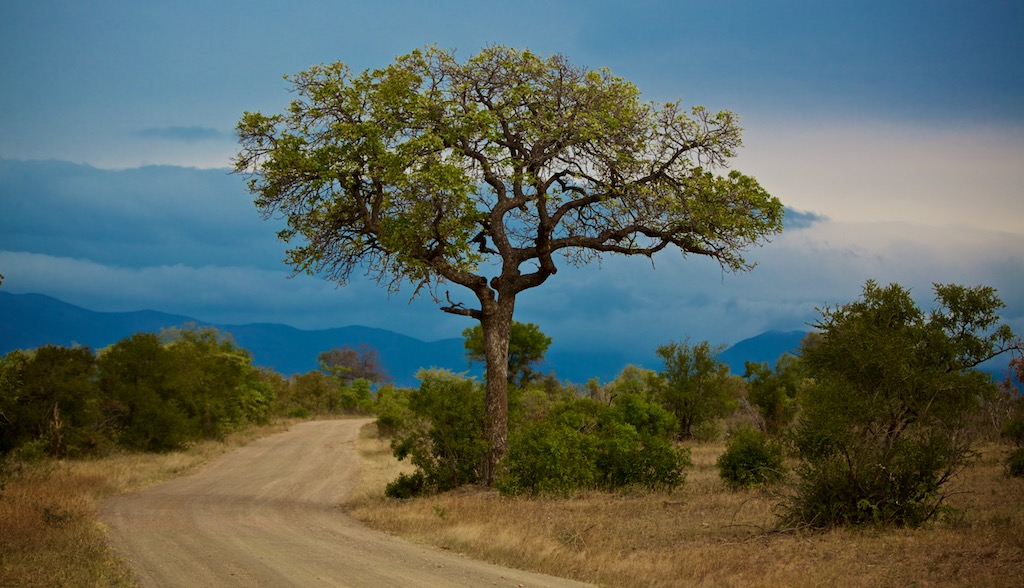 Akacietræ i Sydafrika