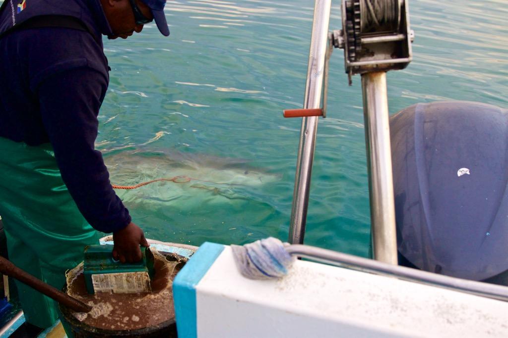 Dykning med hvidhaj i Sydafrika