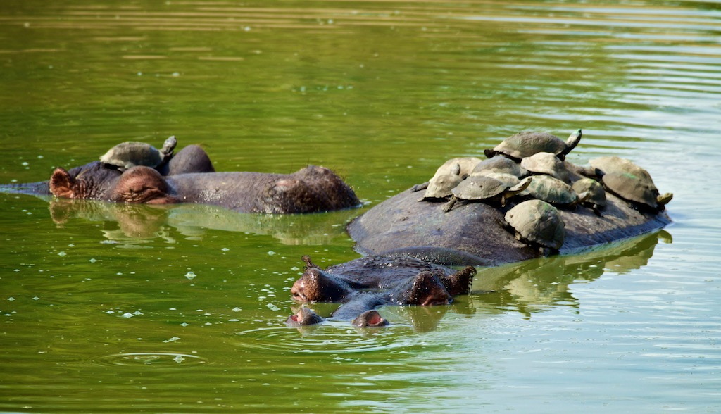 Flodheste set på safari i Sydafrika