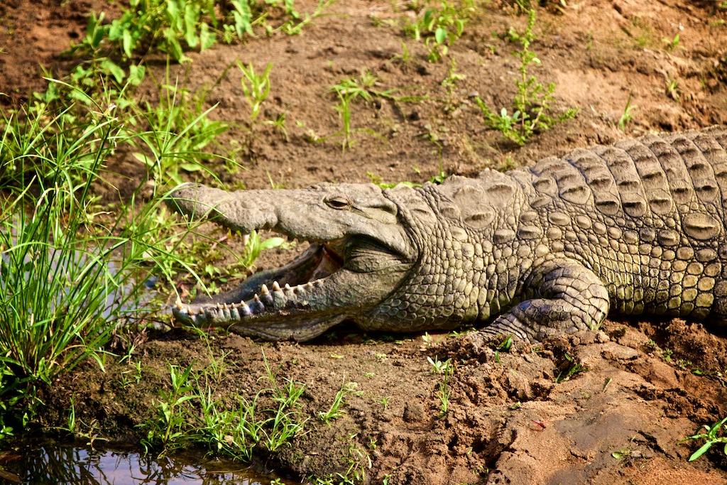 Krokodille ved flod i Sydafrika