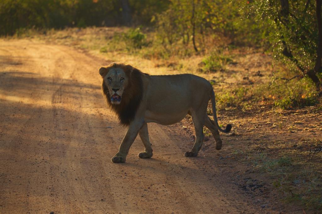Løve i Kruger Nationalpark i Sydafrika