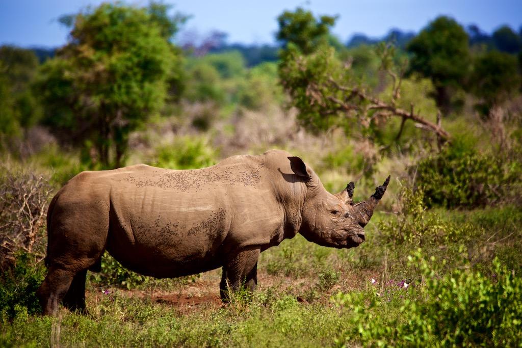 Safari i Sydafrika - næsehorn