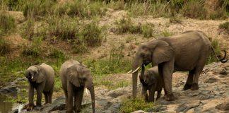 Safari og elefanter