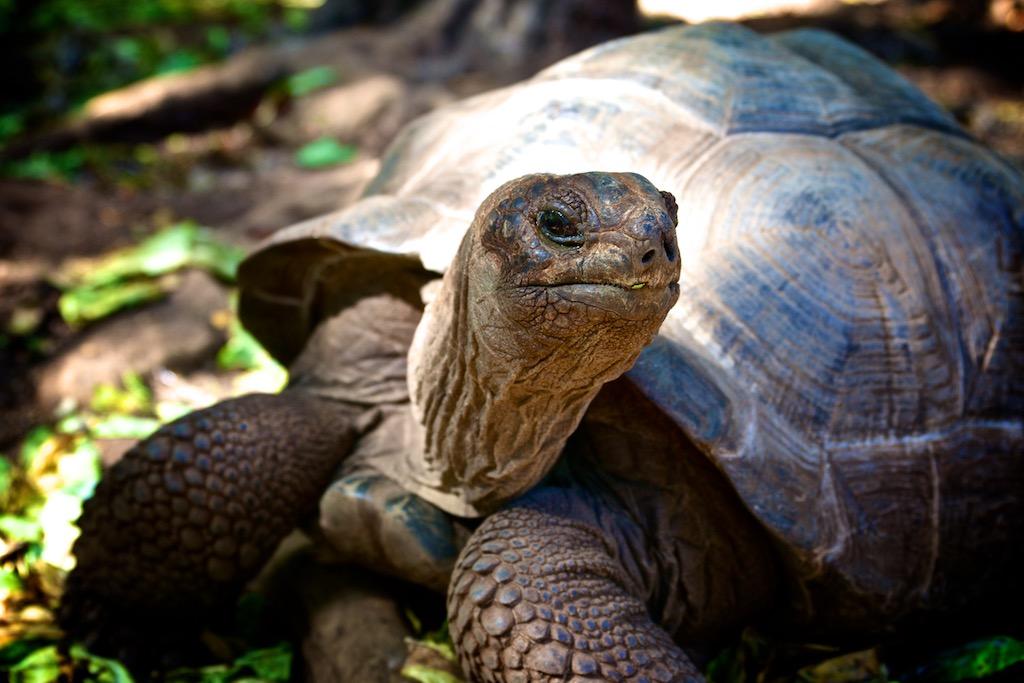 Kæmpeskildpadde på Zanzibar