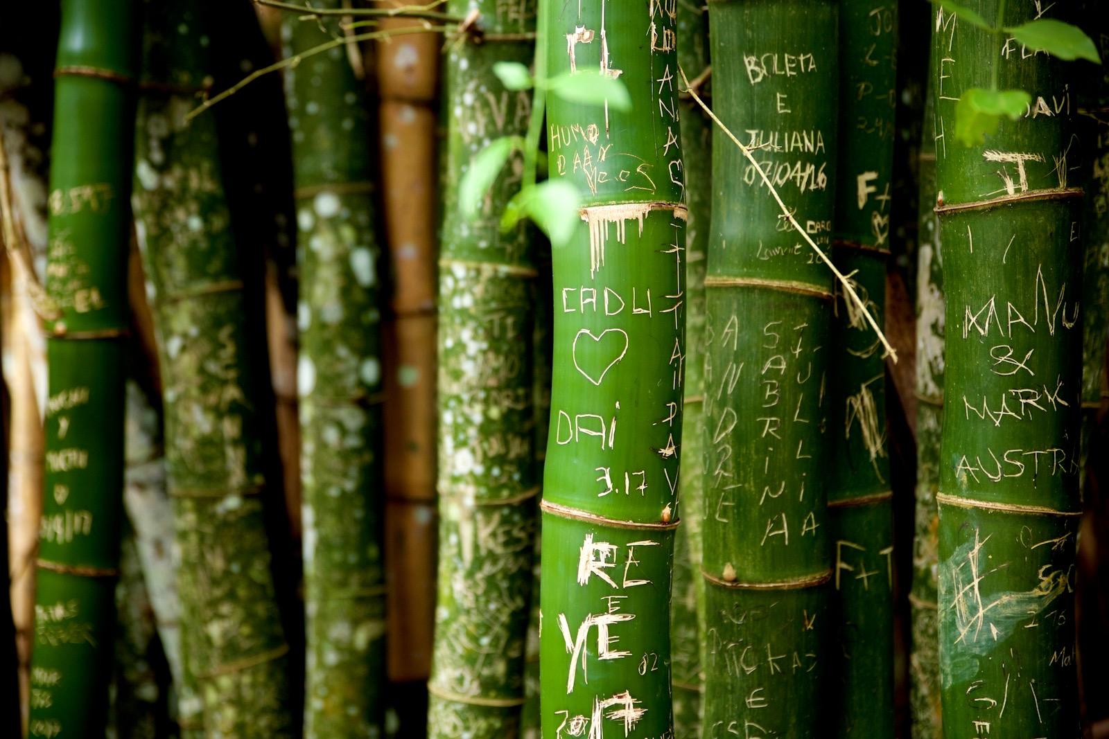 Store bambus på Ilha Grande