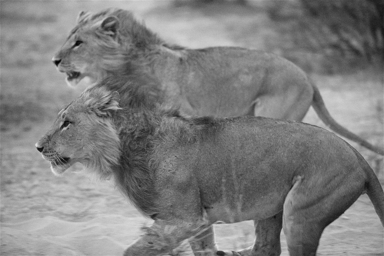 Afrika Safari i Kenya