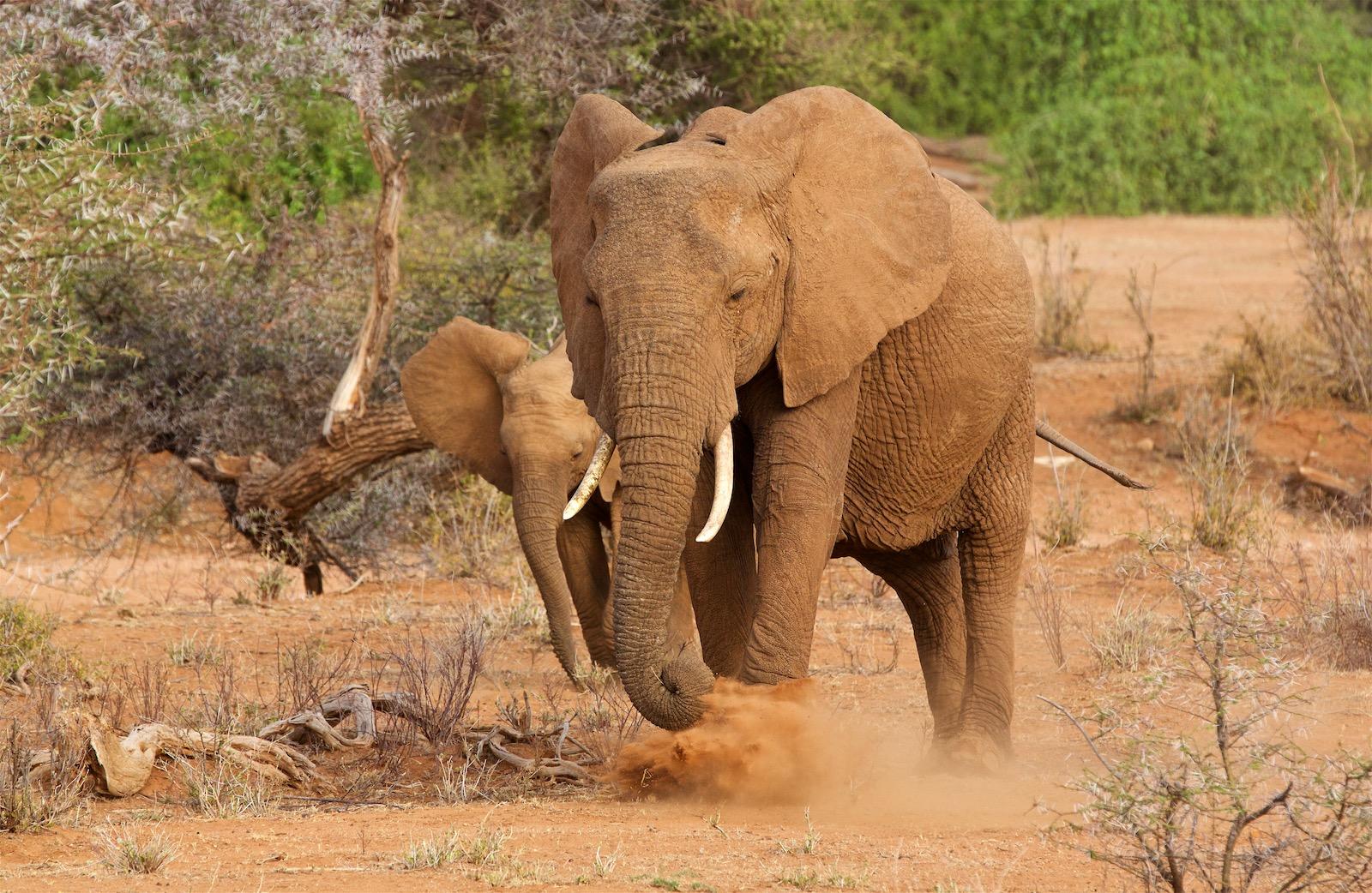 Elefanter Kenya