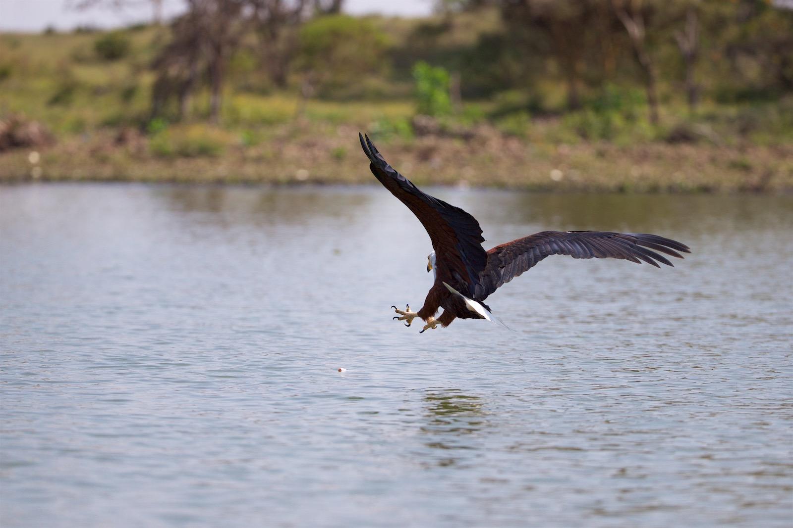 Fiskeørn Kenya