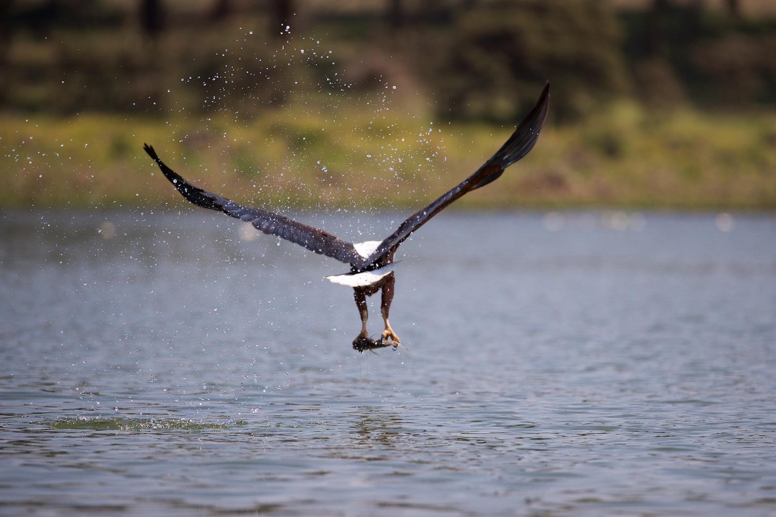 Fiskeørn Lake Naivasha i Kenya