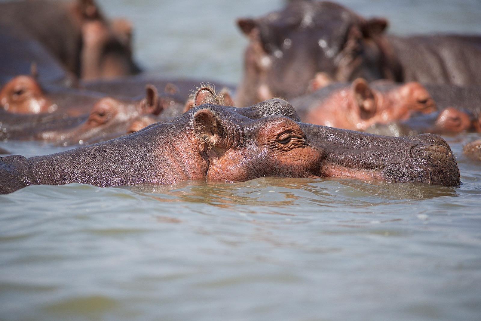 Flodhest Kenya