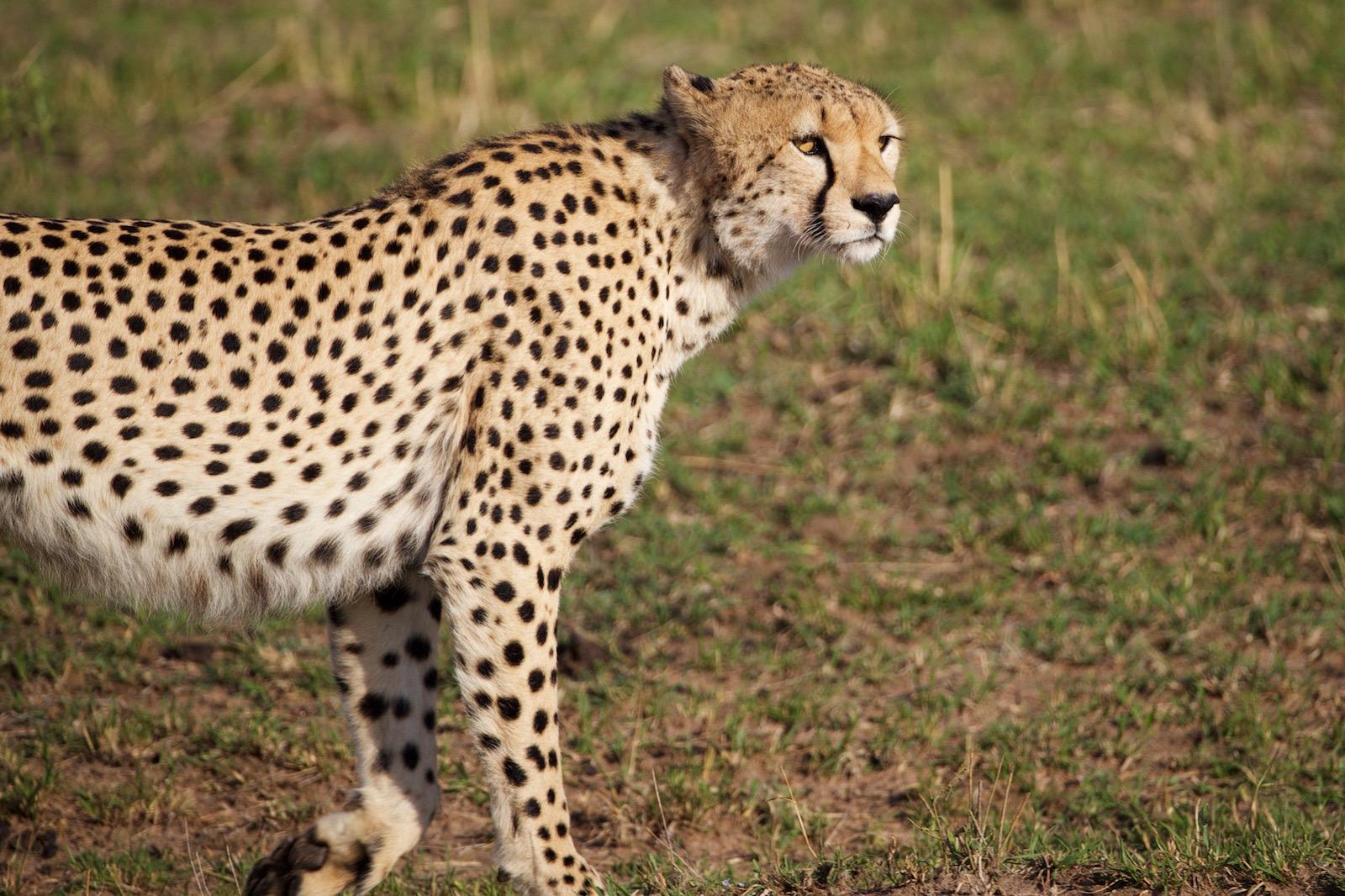 Gepard safari Afrika