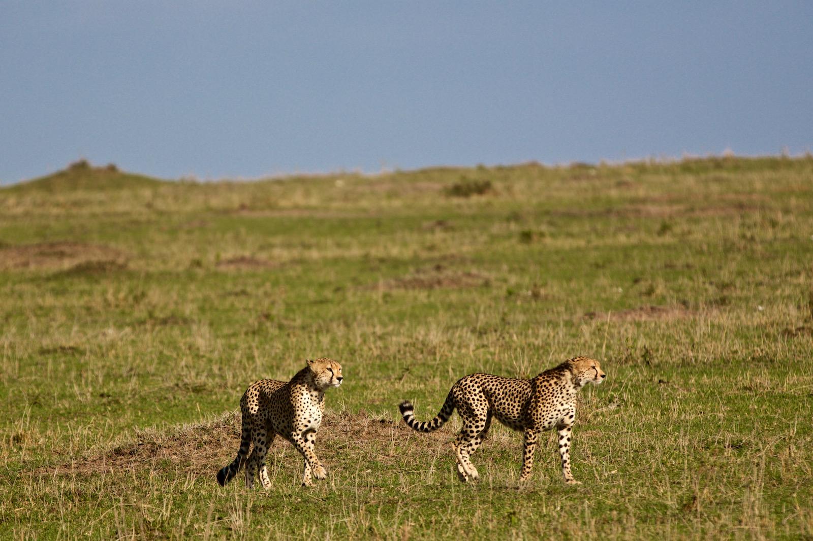 Gepard i Kenya