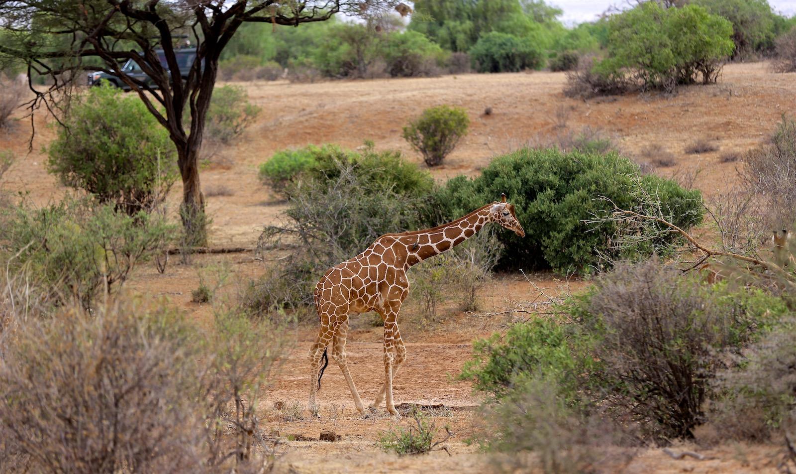 Giraf safari Kenya