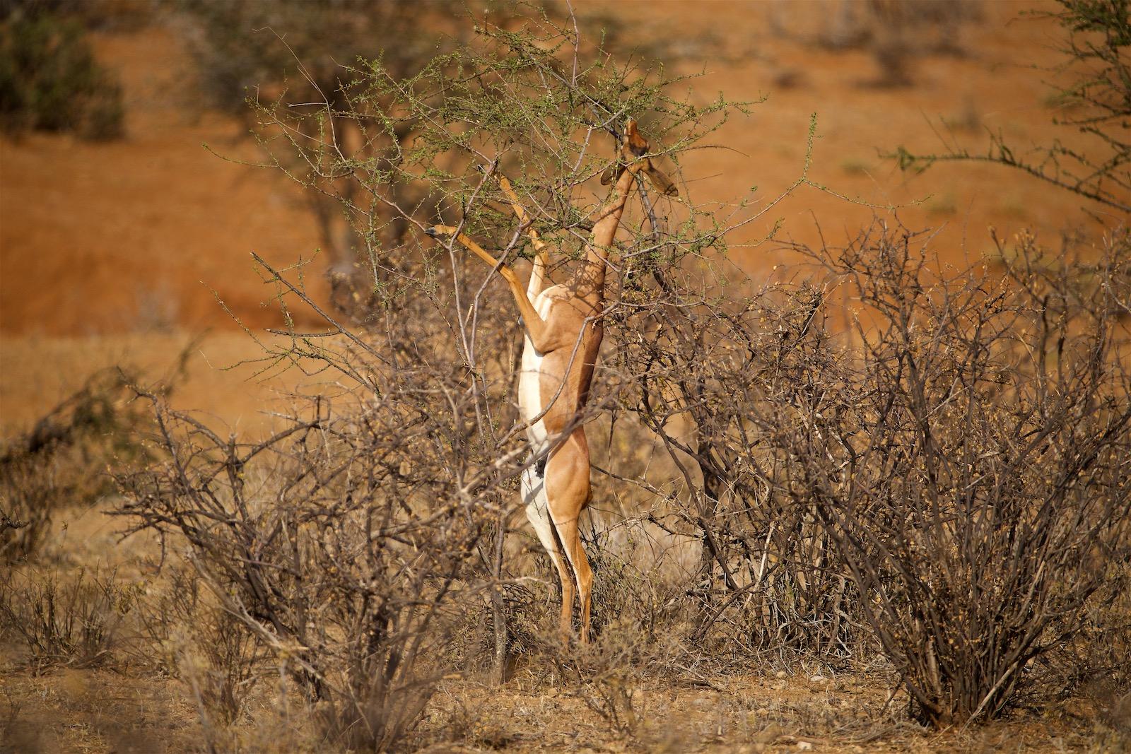 Girafgazelle i Samburu
