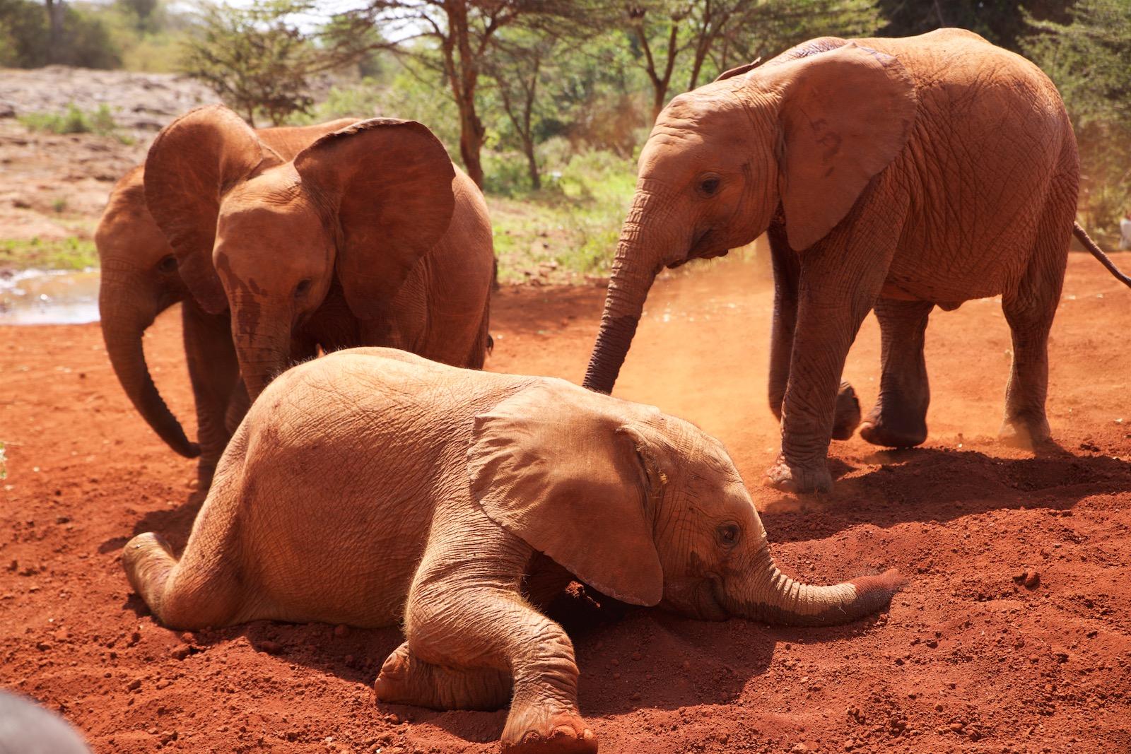 Elefanter i Nairobi Kenya