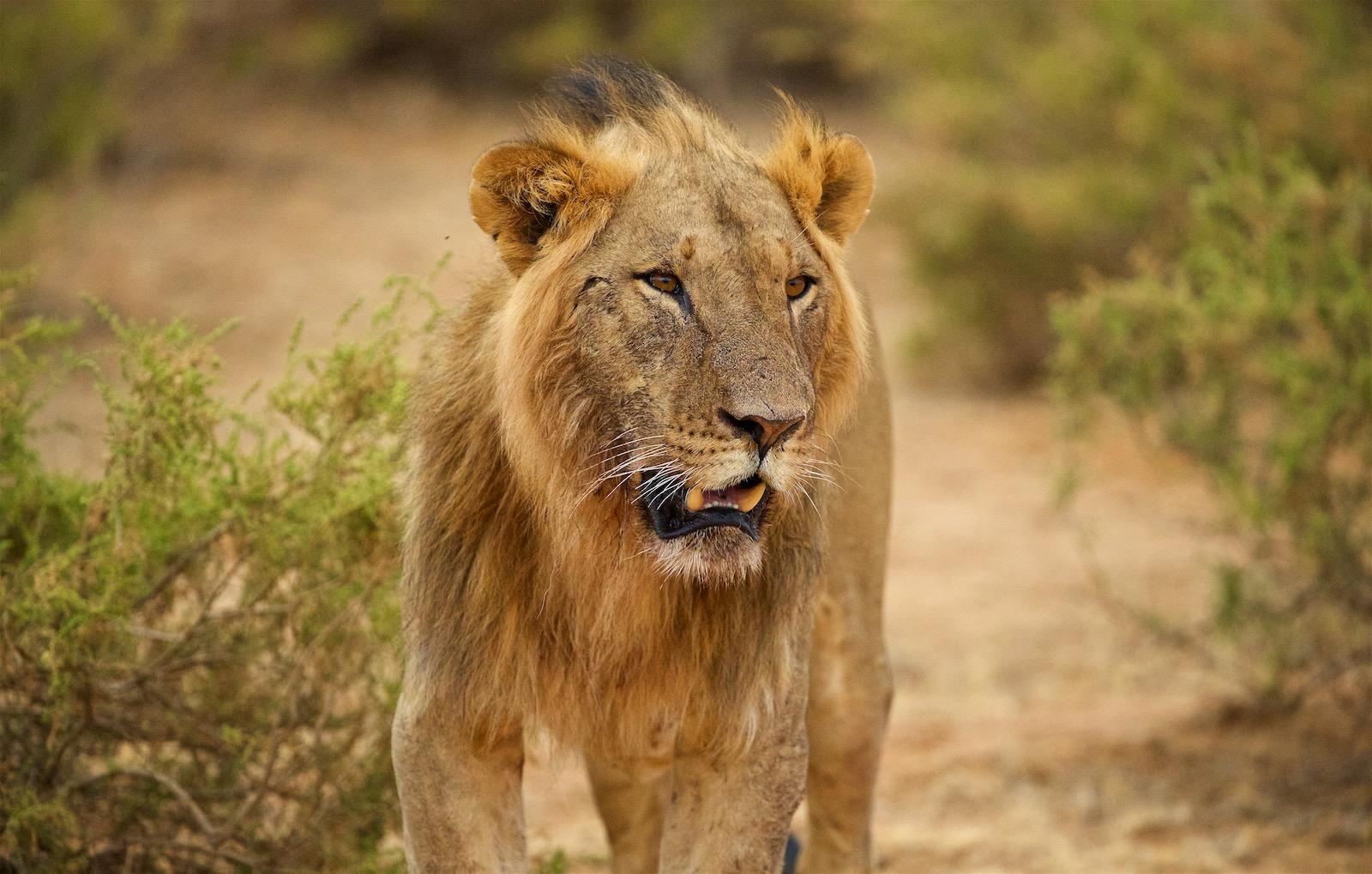 Løve i Kenya